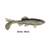 4in Berkley Havoc Sick Fish - Green Back